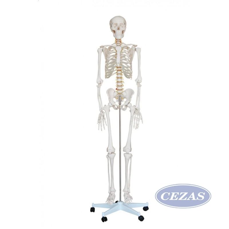 Szkielet Czlowieka 180 Cm Bok003